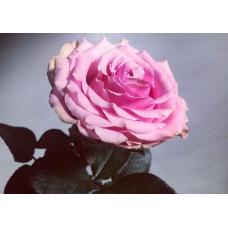 Roos 40 cm