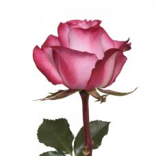 Roos 70 cm
